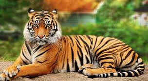 Tiger in Cat Tien national park